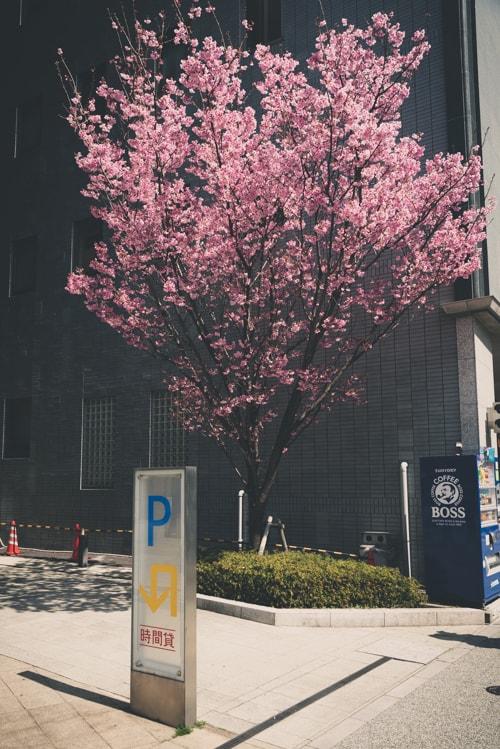 目黒 ナカメアルカス 陽光桜