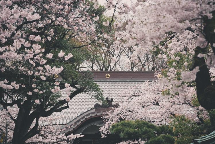 目黒 祐天寺 本堂と桜