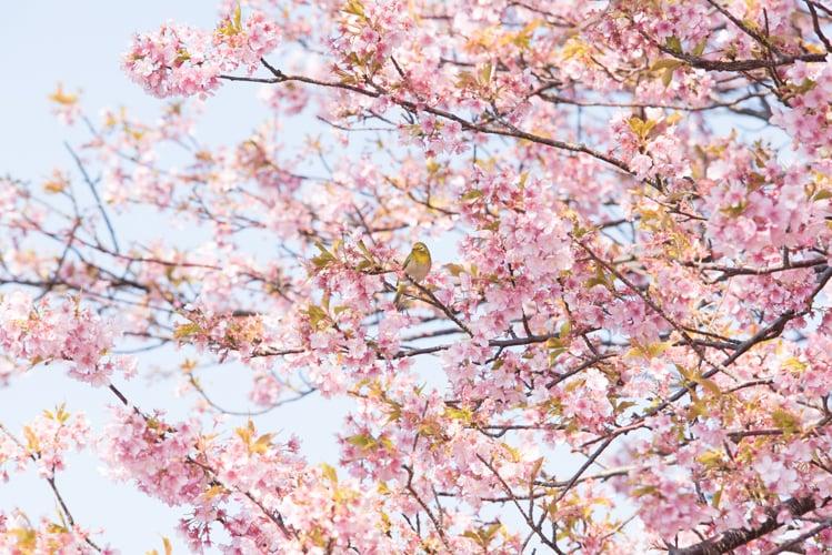 静岡河津 河津桜とメジロ