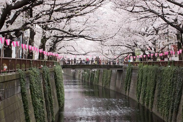 東京目黒 目黒川とソメイヨシノ