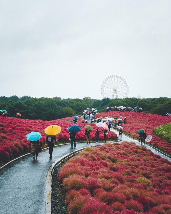 ひたち海浜公園 コキア 紅葉 傘
