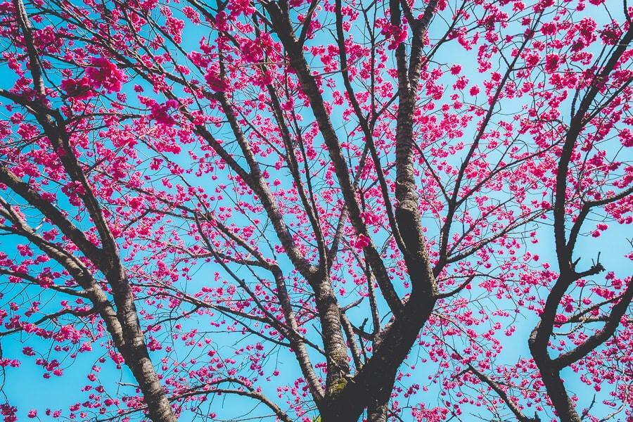 密蔵院 台湾寒緋桜