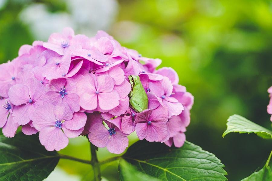 本土寺 紫陽花
