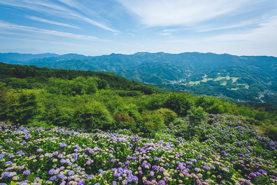 美の山公園 紫陽花