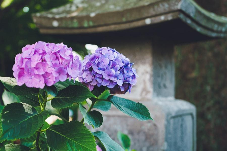 能護寺 紫陽花