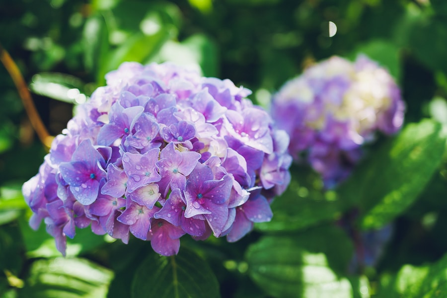 大内宿 紫陽花