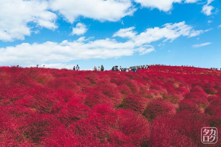 ひたち海浜公園 コキア 紅葉