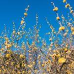 府中市郷土の森博物館の黄色いロウバイを美しく撮ってきた