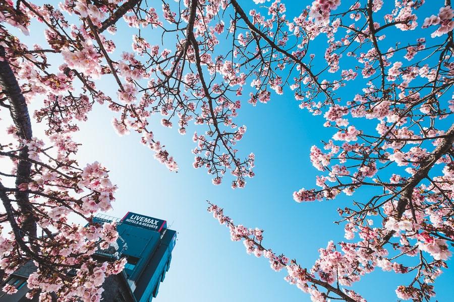 糸川 熱海桜