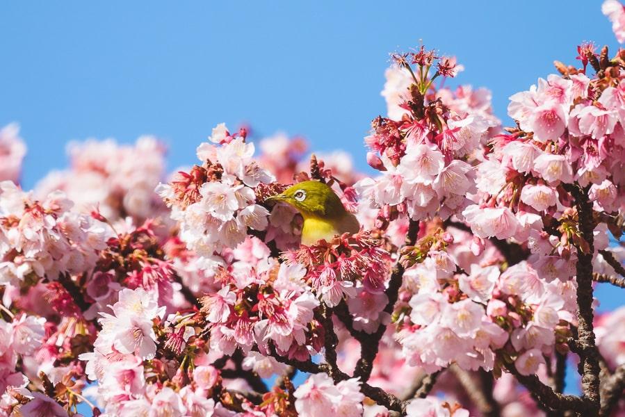 糸川 熱海桜 メジロ