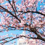 日本一早い!糸川遊歩道に満開に咲いた熱海桜を撮ってきた