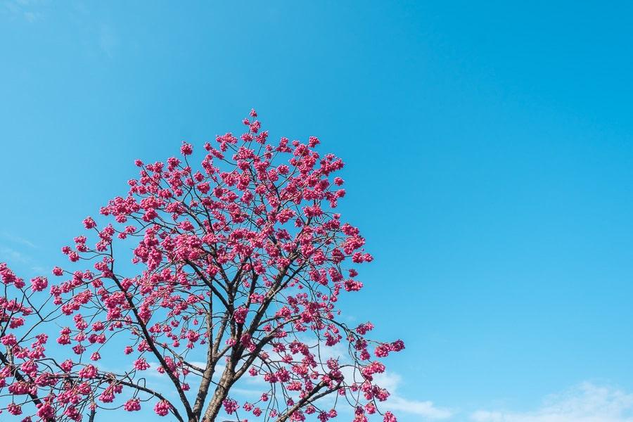台湾緋桜 密蔵院