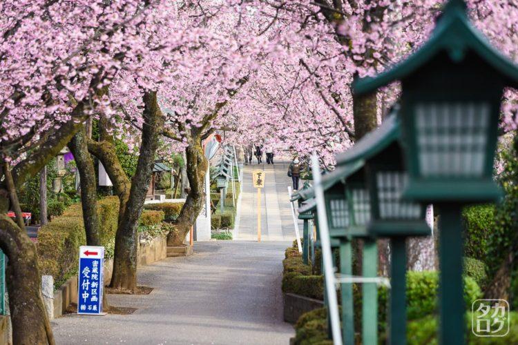 安行桜 密蔵院