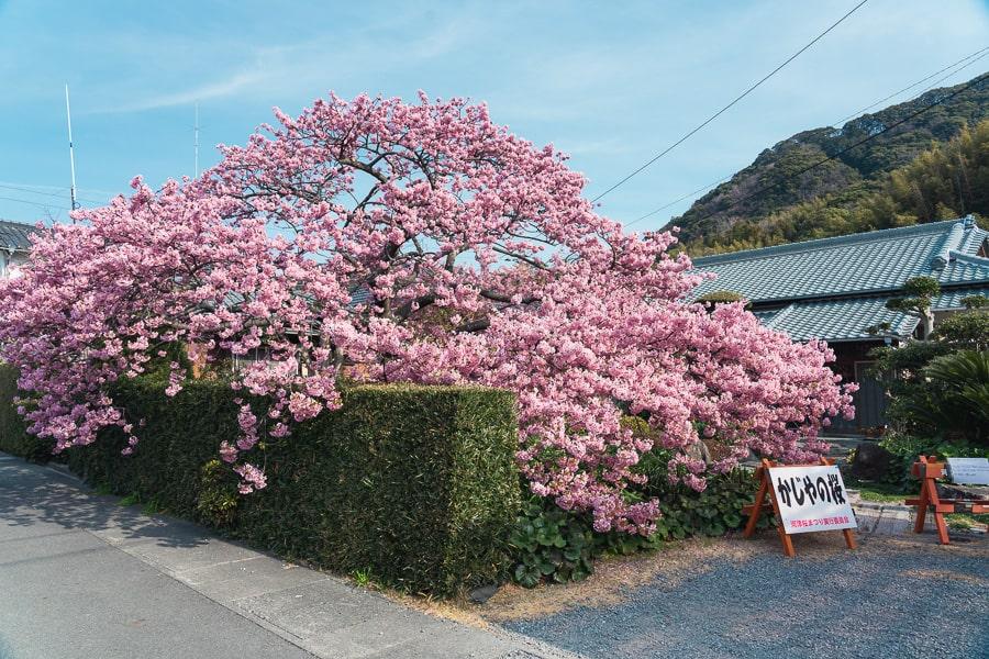 河津桜 かじやの桜