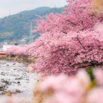 早咲き満開!河津桜を撮影しながら一足早く春を感じてきた