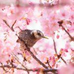 最高のロケーション!旧中川の見頃になった河津桜を撮影に行ってみた