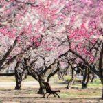 定番名所!水戸偕楽園の見渡す限り梅づくしの風景を撮影してきた