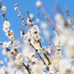 隠れた名所!梅400本が花盛りの越谷梅林公園へ撮影に行ってきた