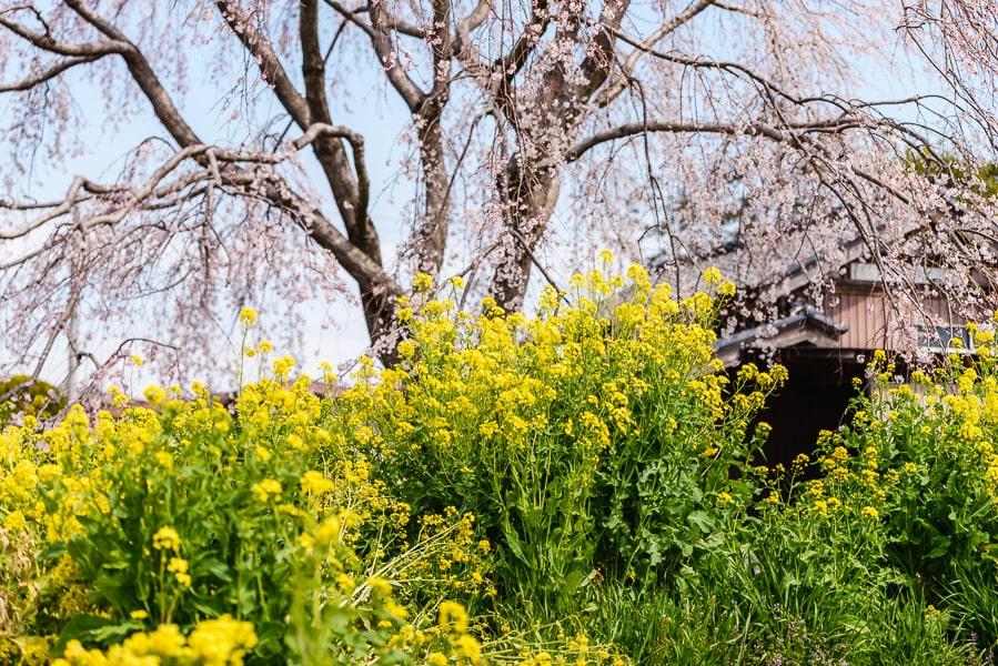 安国寺 しだれ桜 菜の花