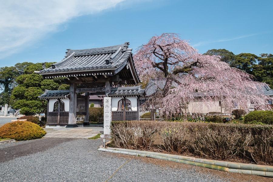 安国寺 しだれ桜