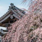 圧巻!水戸安国寺のしだれ桜の荘厳な美しさを撮影してきた