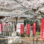 お見事!水戸六地蔵寺の巨大なしだれ桜に囲まれて撮影してきた