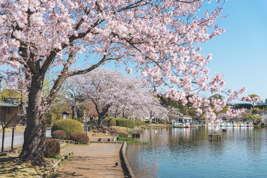 水戸 仙波湖 桜