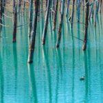 感激するほど綺麗!美瑛白金にある青い池はやはり青かった