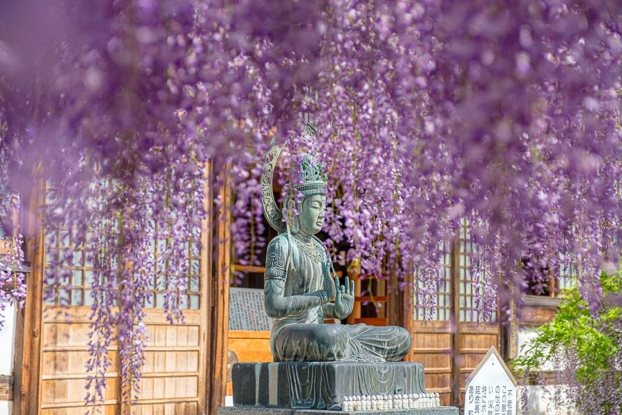 長泉寺 藤の花
