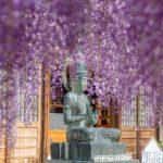 香り漂う!長泉寺の骨波田の藤の花のシャワーを浴びてきた