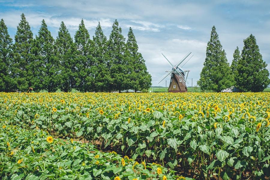 あけぼの山農業公園 ひまわり