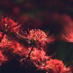 巾着田の彼岸花が光と影の中で深く赤く咲く風景を撮影に行ってきた