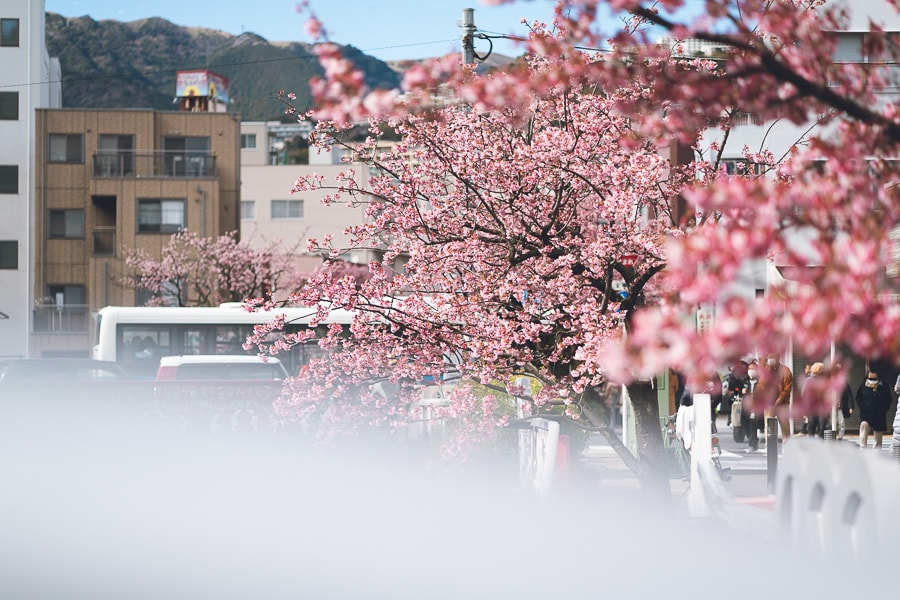 あたみ桜 熱海桜 糸川遊歩道