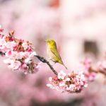 満開早咲のあたみ桜を見に糸川遊歩道を歩きながら撮影してきた