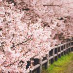 一の堰ハラネ春めき桜を初めて訪れて満開の姿を撮影してきた