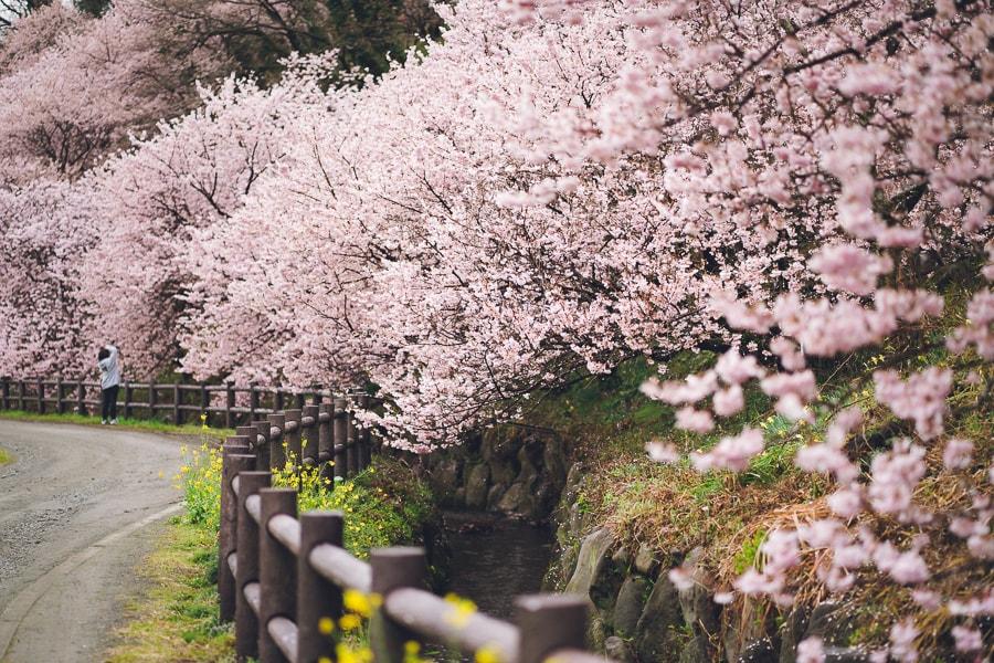 一の堰ハラネ 春めき桜 南足柄