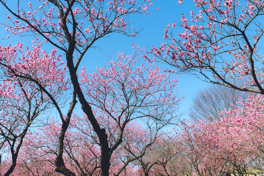 古河公方公園 花桃 ハナモモ