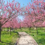 古河公方公園の花桃が一面ピンク色に染める風景を撮影してきた