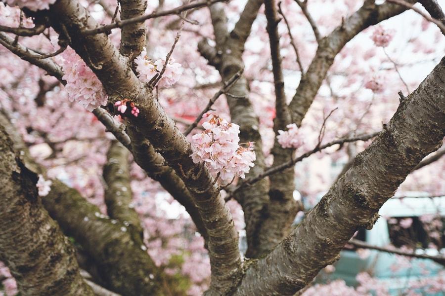 春木径 幸せ道 春めき桜
