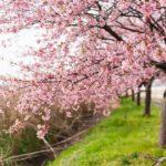 千葉八千代新川千本桜の700本の河津桜を撮影に行ってきた
