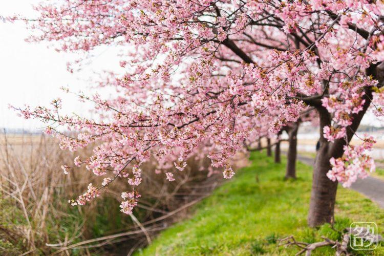 八千代新川千本桜 河津桜