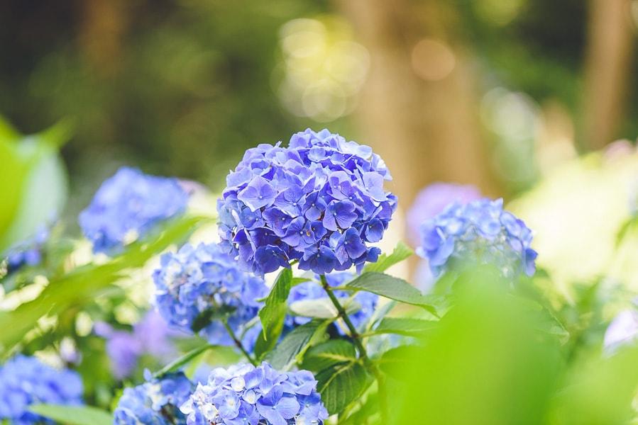紫陽花 撮影方法