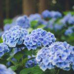 紫陽花を綺麗で印象的な写真に撮影する方法