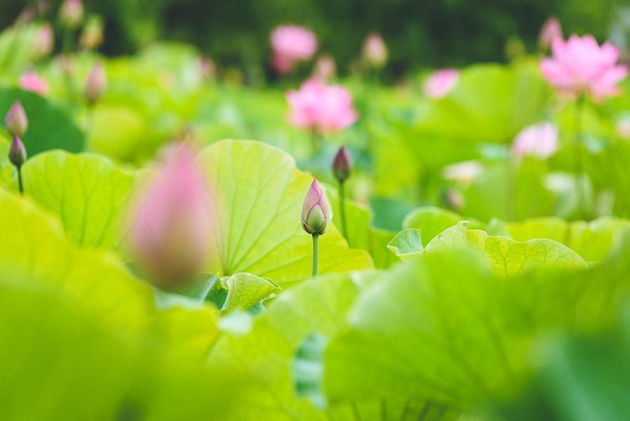 古河公方公園 蓮の花