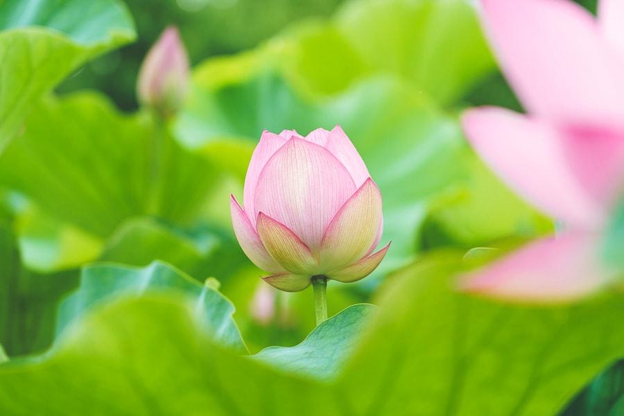 古河公方公園に蓮の花