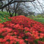 吉見さくら堤公園の彼岸花の広がる赤の美しさをじっくり撮影してみた