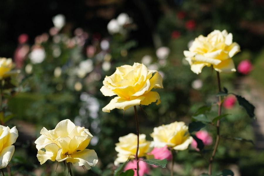 PERGEAR 35mm f1.2 旧古河庭園 バラ