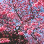 北品川荏原神社の寒緋桜の濃いピンクに誘われて撮影してきた