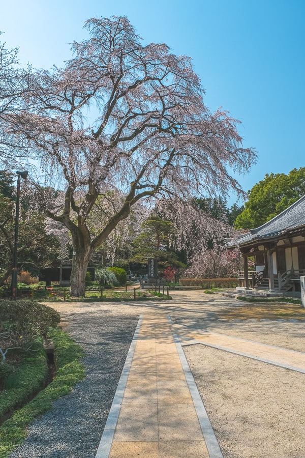 報仏寺 しだれ桜 水戸