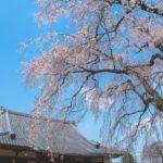 水戸報仏寺のしだれ桜の糸のような繊細な美しさを撮影してきた